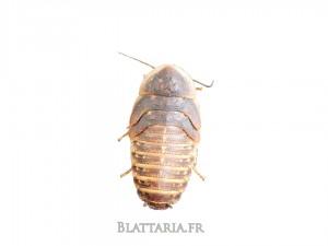 Blaptica-dubia-grille-tarifaire-reptile-insecte-blatte-gecko-pogona-grillon-insecte-kg-pro-grosse-quantité-promo-boîte-large-