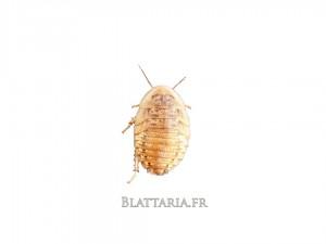 Blaptica-dubia-grille-tarifaire-reptile-insecte-blatte-gecko-pogona-grillon-insecte-kg-pro-grosse-quantité-promo-boîte-medium-