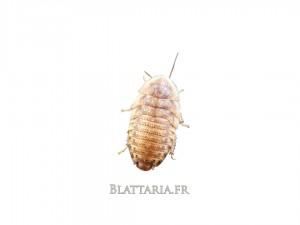Blaptica-dubia-grille-tarifaire-reptile-insecte-blatte-gecko-pogona-grillon-insecte-kg-pro-grosse-quantité-promo-boîte-small-