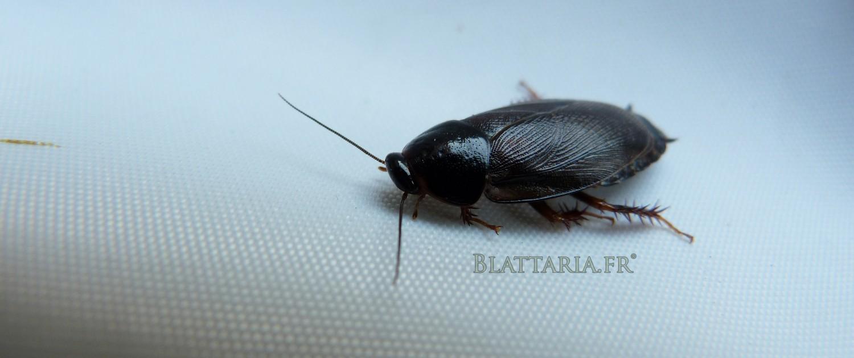 Pycnoscelus-red-runner-blatta-lateralis-Shelfordella-prolifique-petite-blatte-grillon-gecko-pogona-insecte-nourriture-tendre-arachnide-reptile-