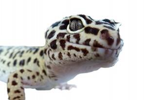 Reptile-lézard-gecko-léopard-eublepharis-macularius