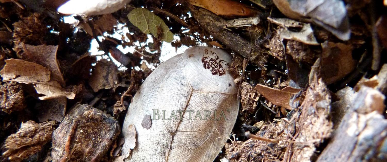 Roach-insecte-blatte-rare-gyna-lurida-