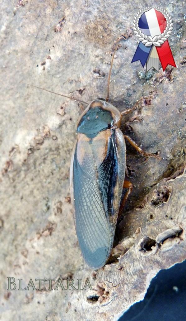 insecte-blatte-blaptica-dubia-nourriture-reptile-grillon