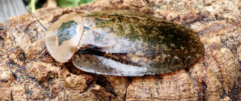 insecte-géant-blatte-rare-gros-plan-archimandrita-tessellata-exotique-