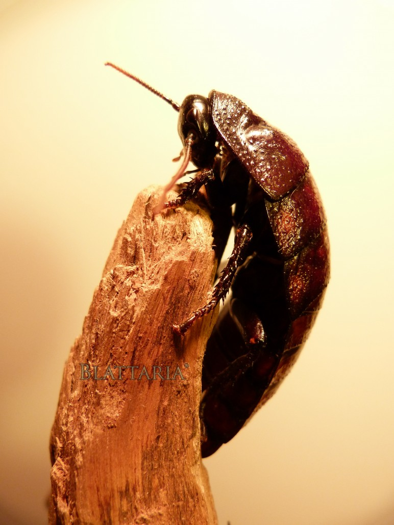 insecte-géant-blatte-madagascar-souffleuse-siffleuse-gromphadorhina-oblongonata-femelle