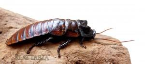 insecte-géant-blatte-madagascar-souffleuse-siffleuse-gromphadorhina-oblongonata-mâle
