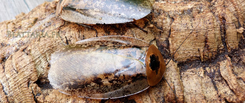insecte-géant-blatte-rare-gros-plan-archimandrita-tessellata-1