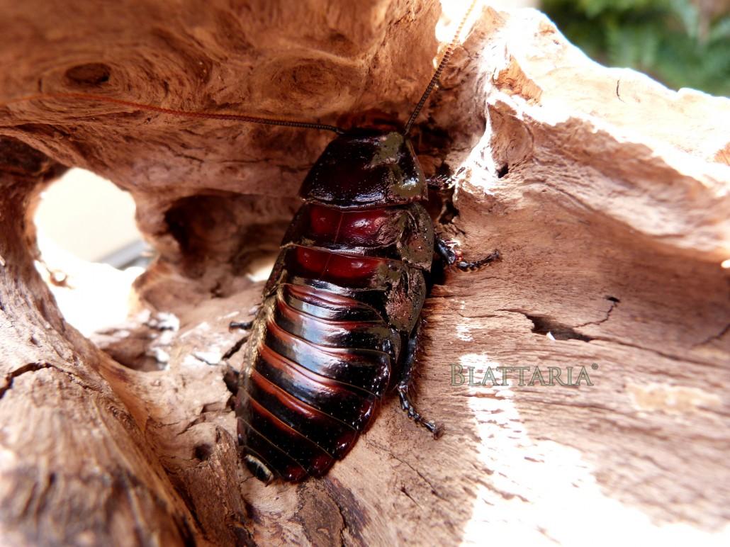 insecte-rare-blatte-roach-souffleuse-madagascar-géante-aeluropoda-insignis-