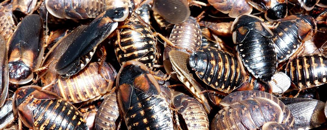 insecte-reptile-blatte-blaptica-dubia-mélange-toute-taille