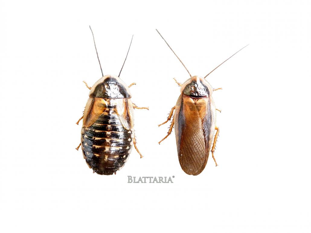insecte-reptile-nourriture-blaptica-dubia-mâle-femelle-blatte-taille-dimorphisme