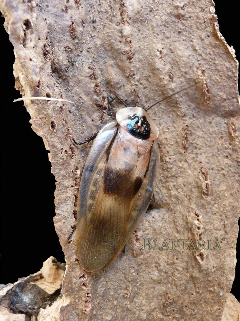 insecte-reptile-nourriture-blatte-géante-blaberus-craniifer-blabera-fusca-dead-head-roache-véritable