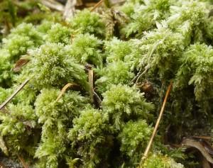 Sphaigne-du-Chili-substrat-mousse-reptile-amphibien-insecte-boîte-à-humidite-ponte-tropicale-humide-
