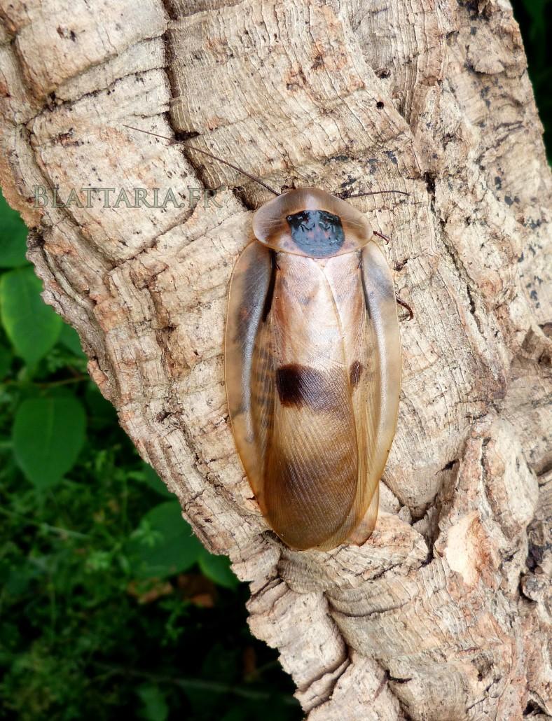 blatte-géante-blaberus-giganteus-insecte-exotique-blaberidae-