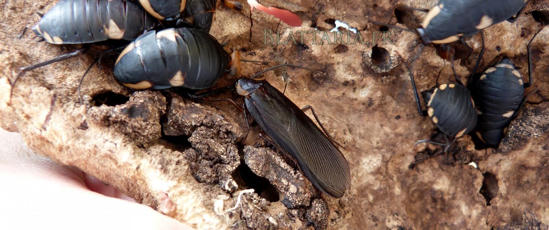Deropeltis-paulinoi-blatte-afrique-roach-rare-exotique-noire-orange-toxique-danger-benzoquinone-quinone-