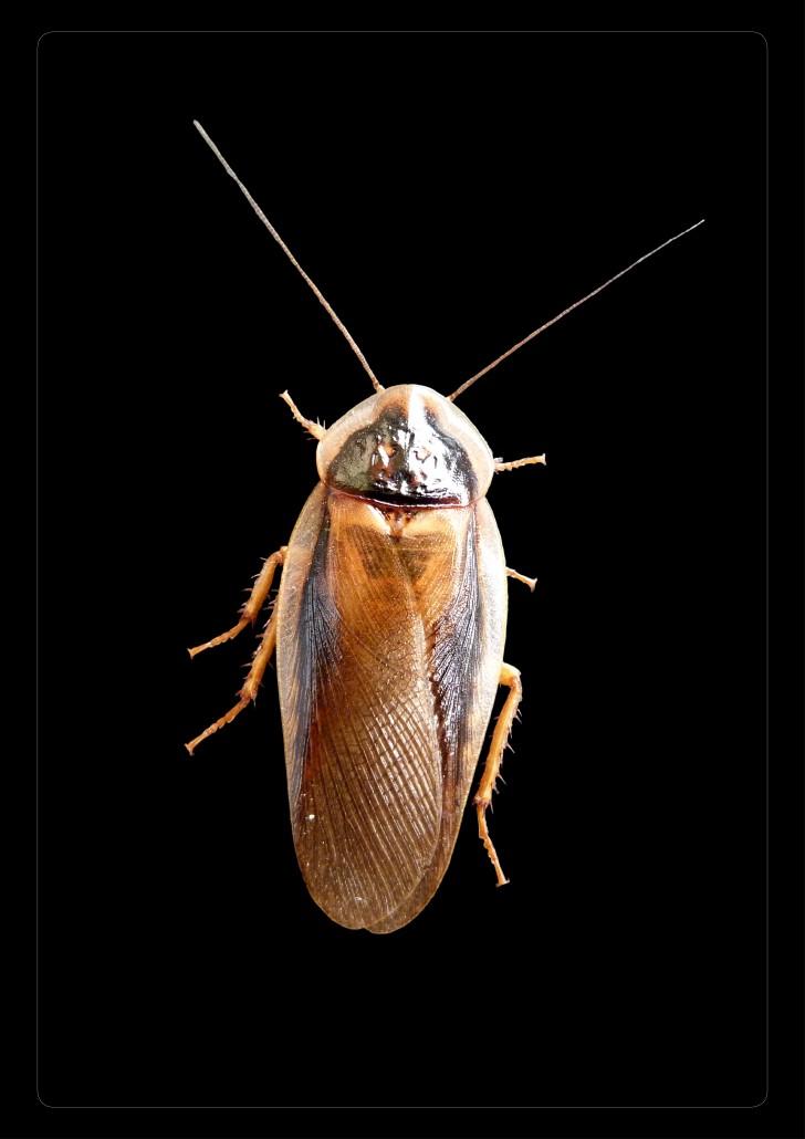 Blaptica-dubia-mâle-grille-tarifaire-reptile-insecte-blatte-gecko-pogona-grillon-insecte-kg-pro-grosse-quantité