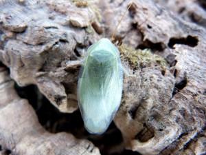 Blatte-roach-vollante-exotique-insecte-panchlora-sp-nivea-giant-géant-vert-banane