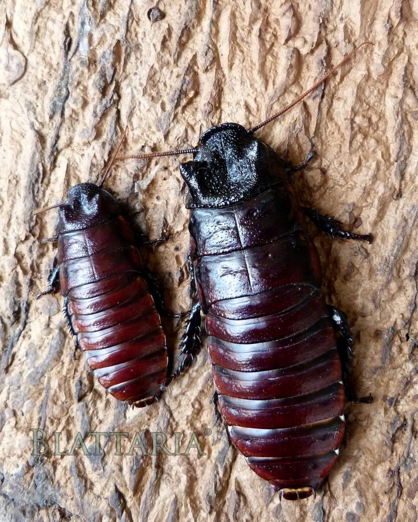 insecte-géant-blatte-madagascar-souffleuse-siffleuse-gromphadorhina-oblongonata-géante-CR-