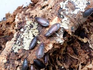 Blatte-roach-exotique-toxic-diploptera-punctata-afrique-tropicale-