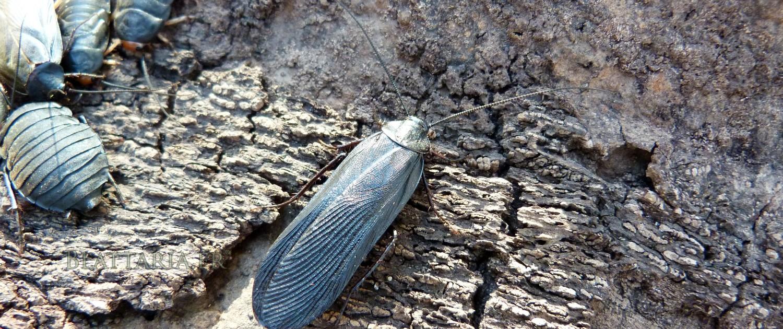 Deropeltis-jinka-blatte-afrique-roach-rare-exotique-noire-orange-toxique-danger-benzoquinone-quinone-2