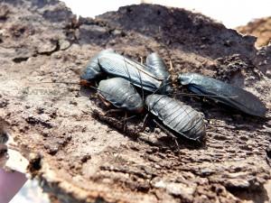 Deropeltis-jinka-blatte-afrique-roach-rare-exotique-noire-orange-toxique-danger-benzoquinone-quinone-3