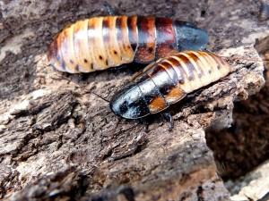 Princisia-vanwaerebecki-tricolor-roach-blatte-géante-tropicale-exotique-souffleuse-
