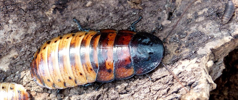 Princisia-vanwaerebecki-tricolor-roach-blatte-géante-tropicale-exotique-souffleuse-1