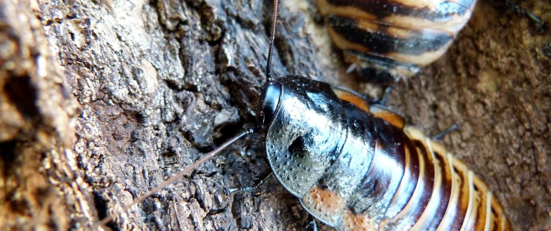 Princisia-vanwaerebecki-tricolor-roach-blatte-géante-tropicale-exotique-souffleuse-3