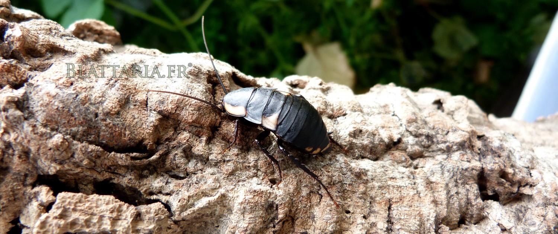 Deropeltis-paulinoi-blatte-afrique-roach-rare-exotique-noire-orange-toxique-danger-benzoquinone-quinone-femelle-