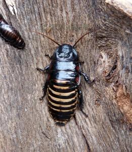 princisia-vanwaerebecki-black-and-white-tricolor-gromphadorhina-madagascar-géante-blatte-insecte-exotique-souffleuse-