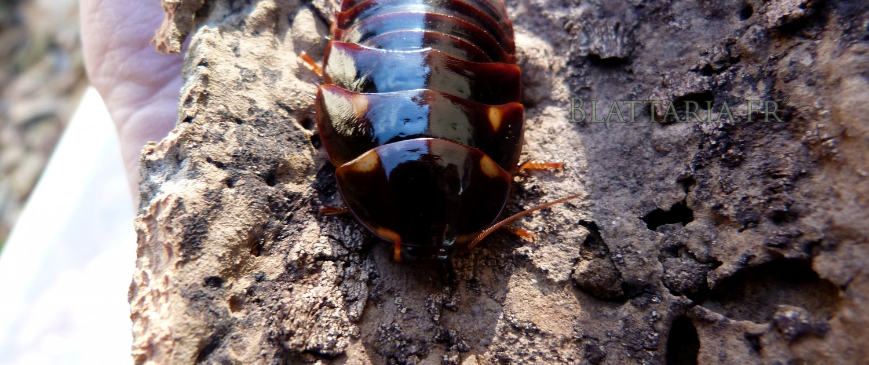 Eublaberus-sp-ivory-blatte-roach-exotique-géante-ivoire-insecte