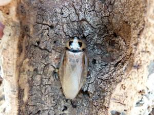 Eublaberus-sp-ivory-blatte-roach-exotique-géante-ivoire-insecte-2