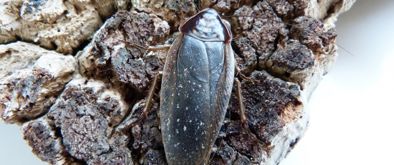 Henschoutedenia flexivitta-blatte-exotique-siffleuse-alimentaire-blaptica-dubia-belle-motif-roach-afrique-1