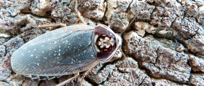 Henschoutedenia flexivitta-blatte-exotique-siffleuse-alimentaire-blaptica-dubia-belle-motif-roach-afrique-2