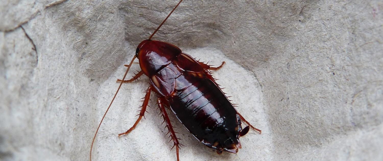 Shelfordella-lateralis-blaptica-dubia-blattes-reptiles-gecko-pogona-insectes-grillons-vers-de-farine-alimentation-reptiles-red-runner
